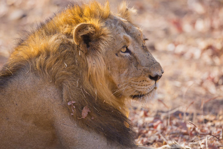 Asiatic Lion, big cats, endangered wildlife, animals of India