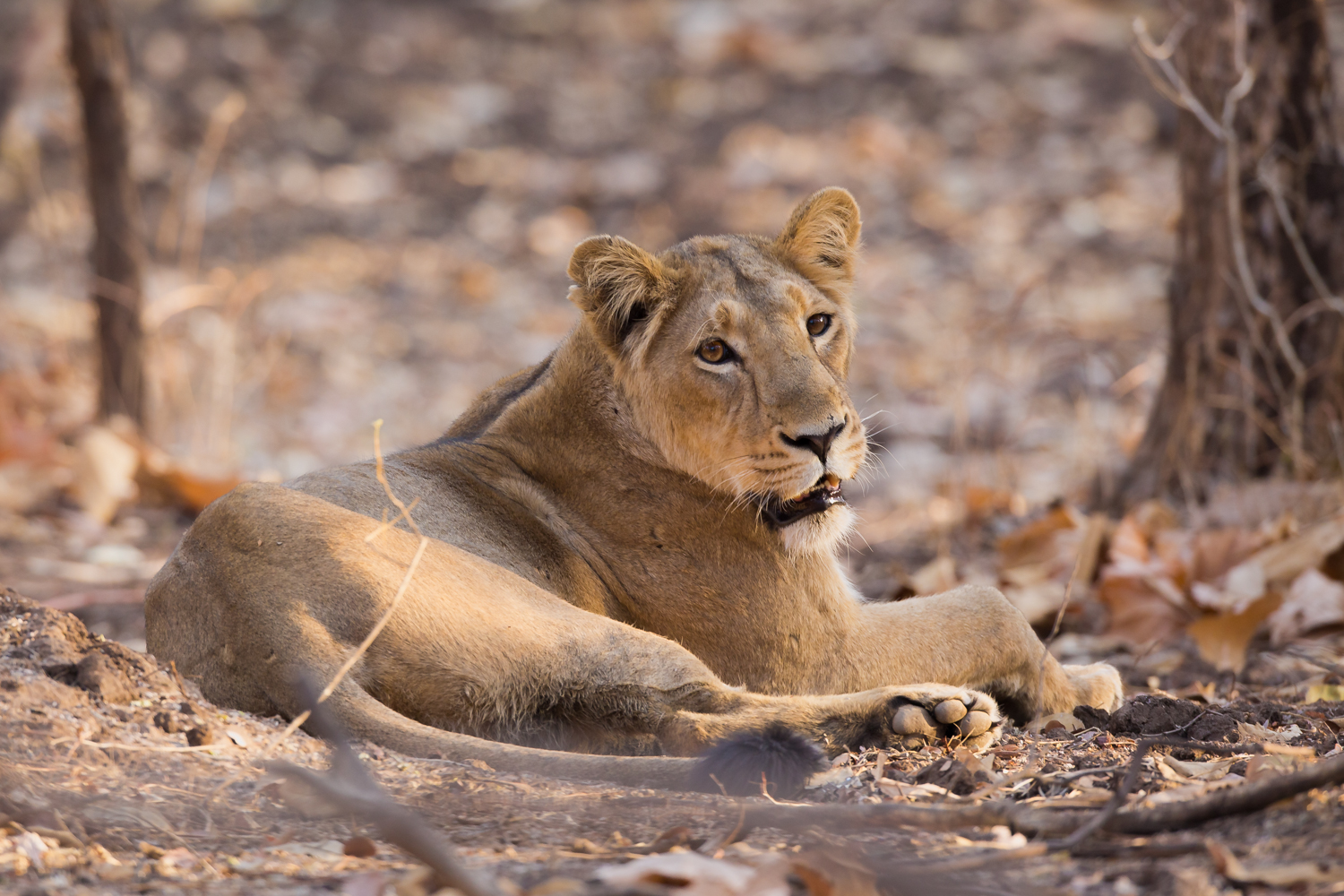 Asiatic Lion, animals of India, big cats, wildlife photography