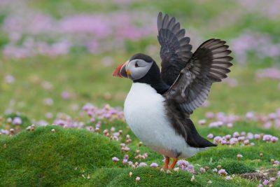 Atlantic Puffin, Fair Isle, UK birds, wildlife