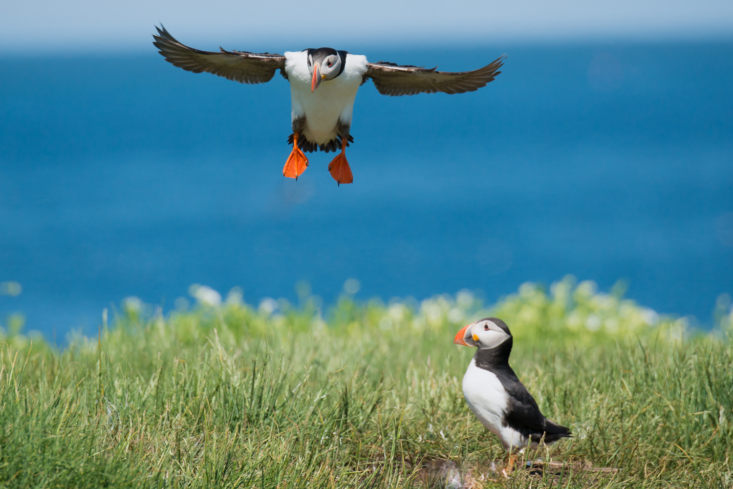 Atlantic Puffin, British wildlife, birds, seabirds
