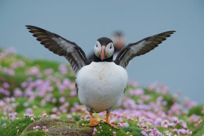 Atlantic Puffin, do my wings look too small? Fair Isle, British wildlife