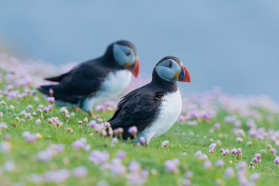 Atlantic Puffin at Fair Isle in the flowers. British birds, wildlife