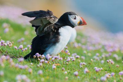 Atlantic Puffin, British birds, Fair Isle, UK
