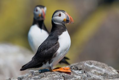 Atlantic Puffin, UK seabirds, wildlife photographs