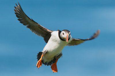 Atlantic Puffin in flight, UK seabirds, wildlife