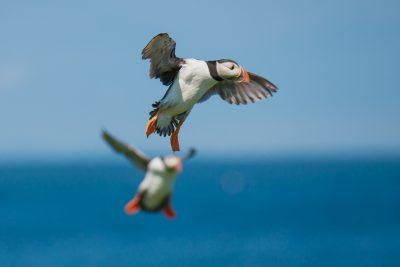 Atlantic Puffin in flight, British birds, wildlife photography