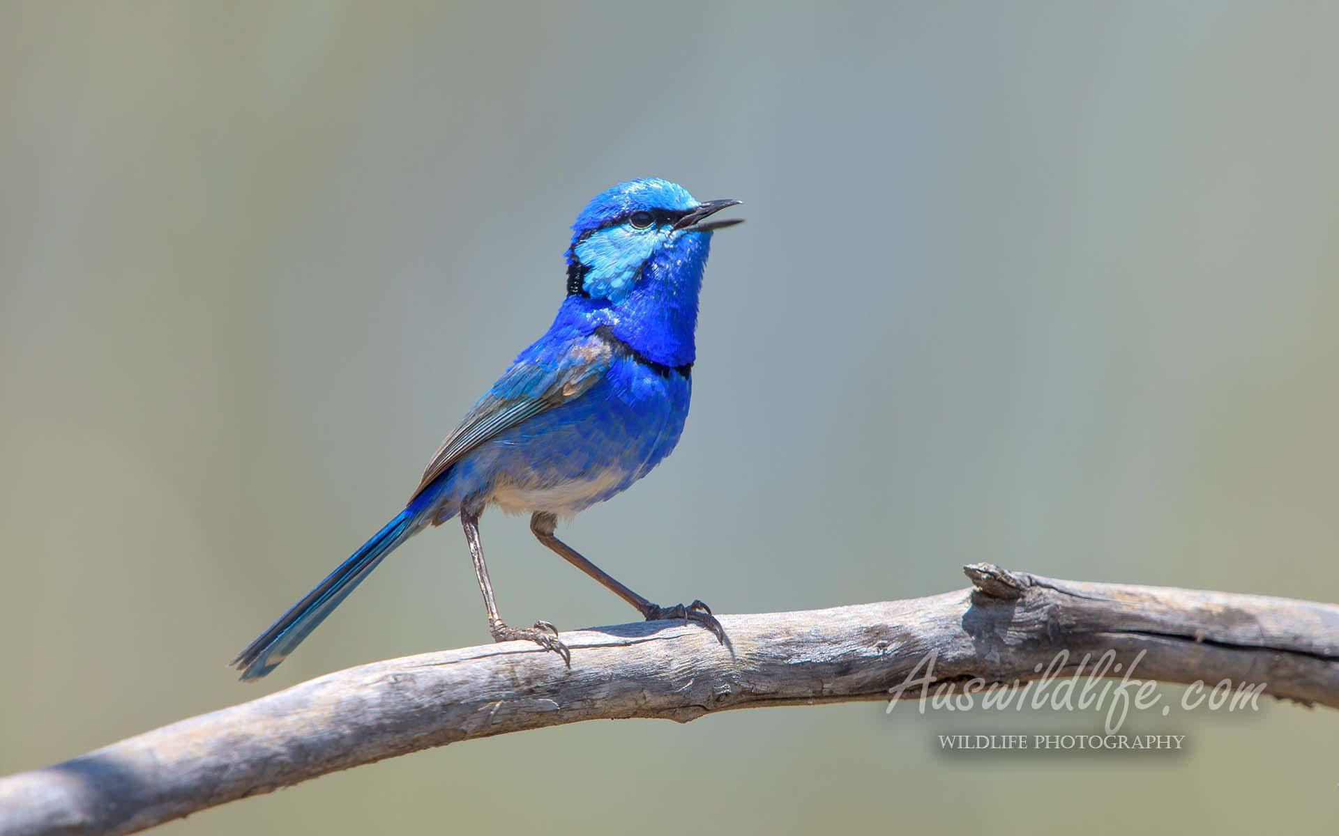 Australian birds stock images