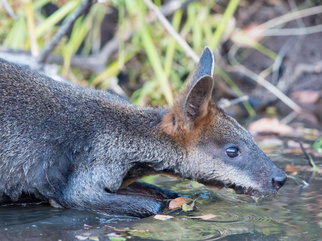 Swamp Wallaby