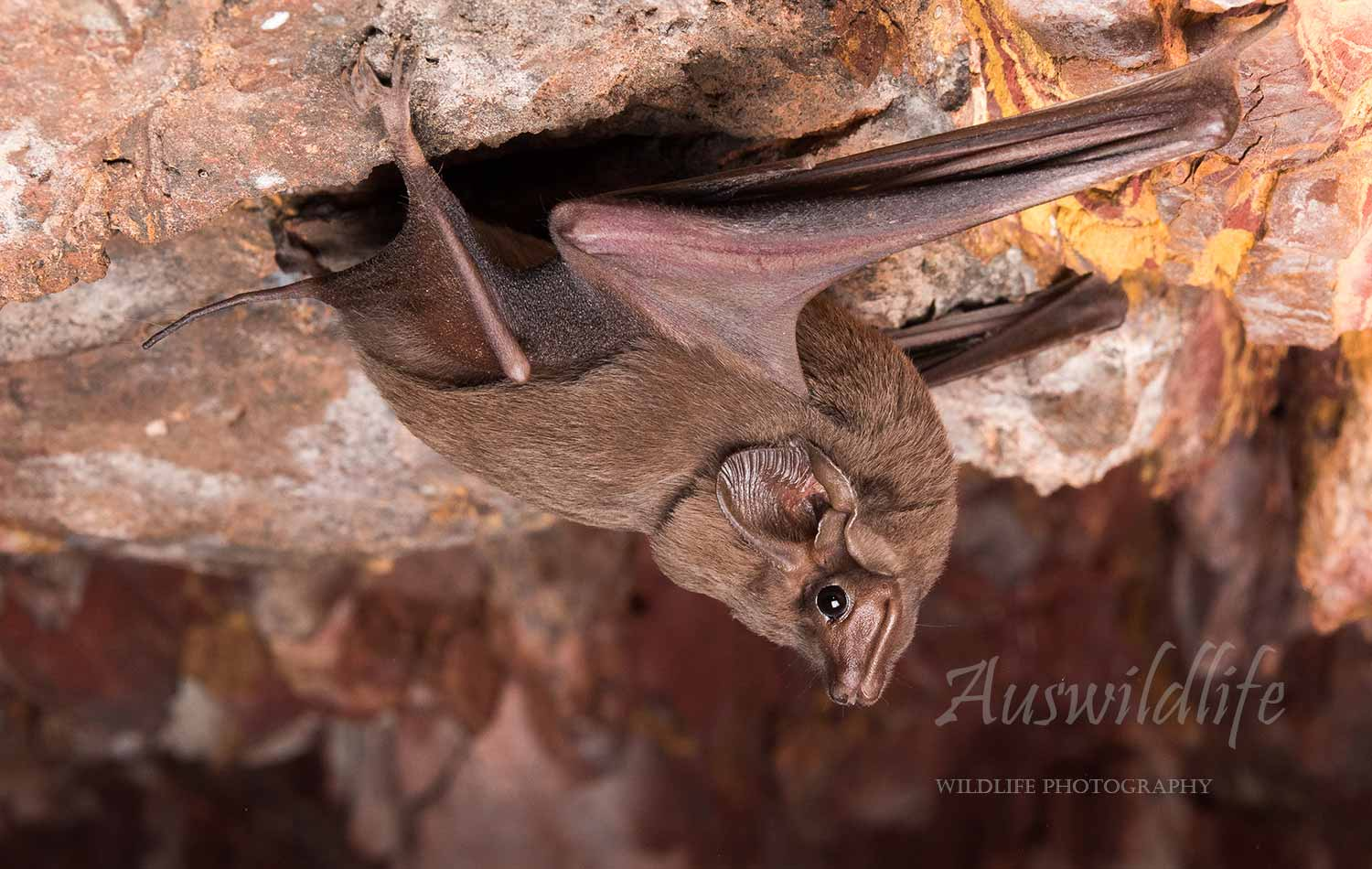 Australian wildlife stock photography - bats
