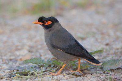 Bank Myna, birds of India, wildlife photography