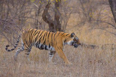 Bengal Tiger, Indian wildlife, big cats, photography
