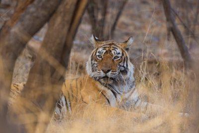 Bengal Tiger, animals of India, Indian wildlife