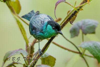 Black-capped Tanager, Ecuador birds, nature images