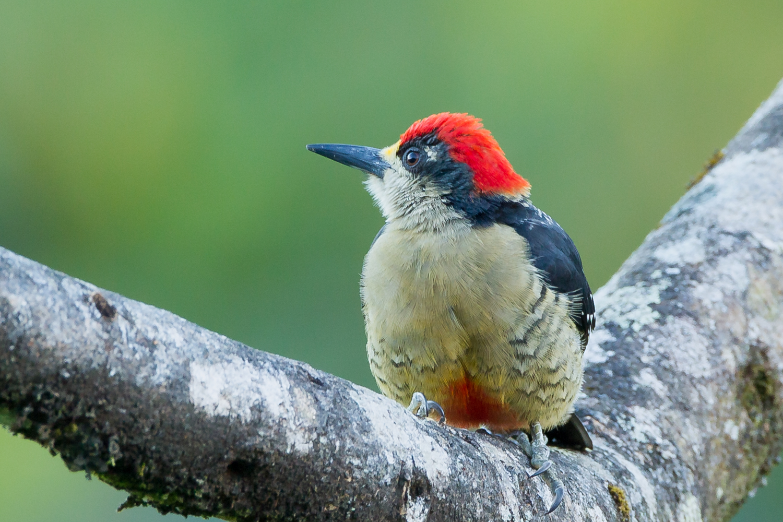 Black-cheeked Woodpecker, Costa Rica birds, wildlife, stock images