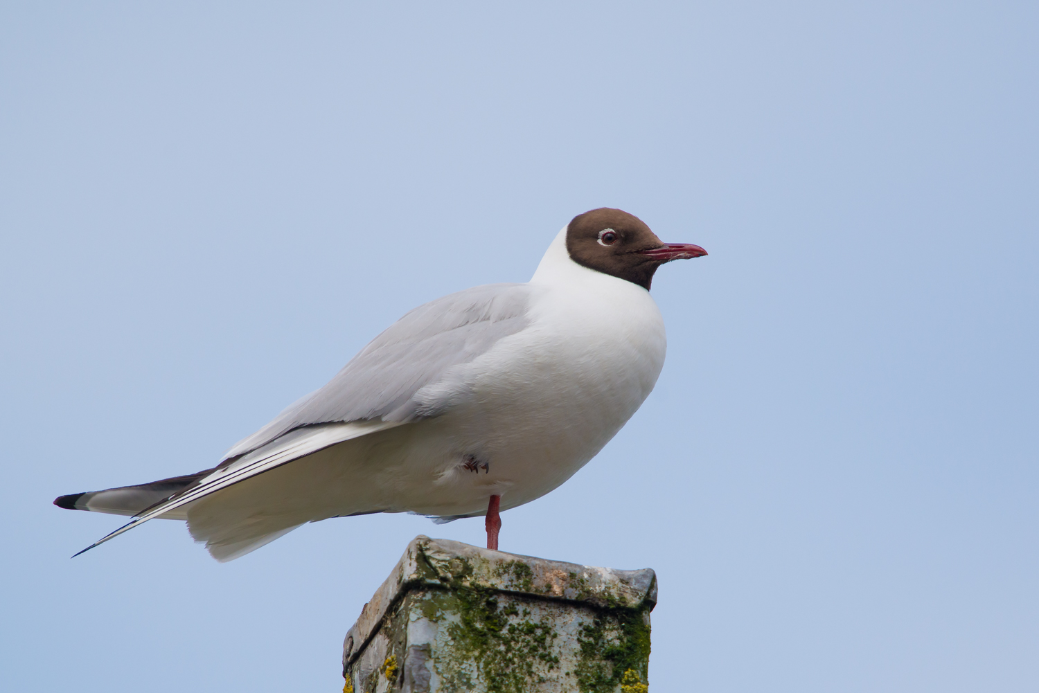 Black-headed Gull, UK birds, wildlife
