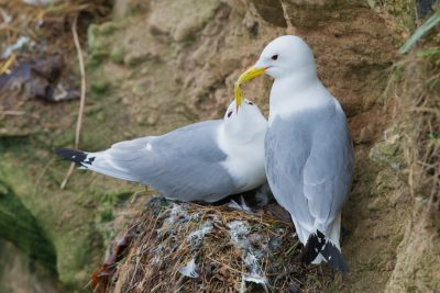 Black-legged Kittiwake, UK Birds, seabirds, wildlife