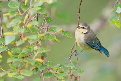 Blue Tit, UK birds, wildlife