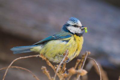 Blue Tit, feeding young. British birds, wildlife