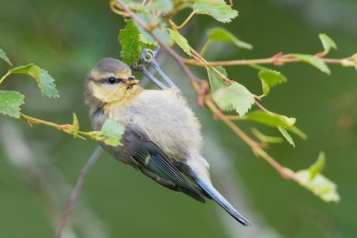 juvenile Blue Tit, British birds, wildlife