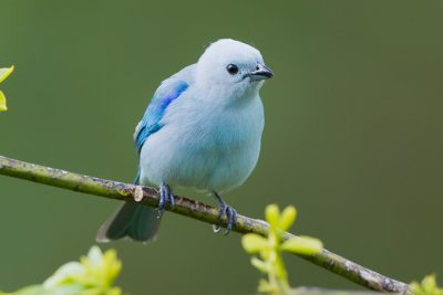 Blue-Grey Tanager, Blue-gray Tanager, Costa Rica wildlife, birds, stock images