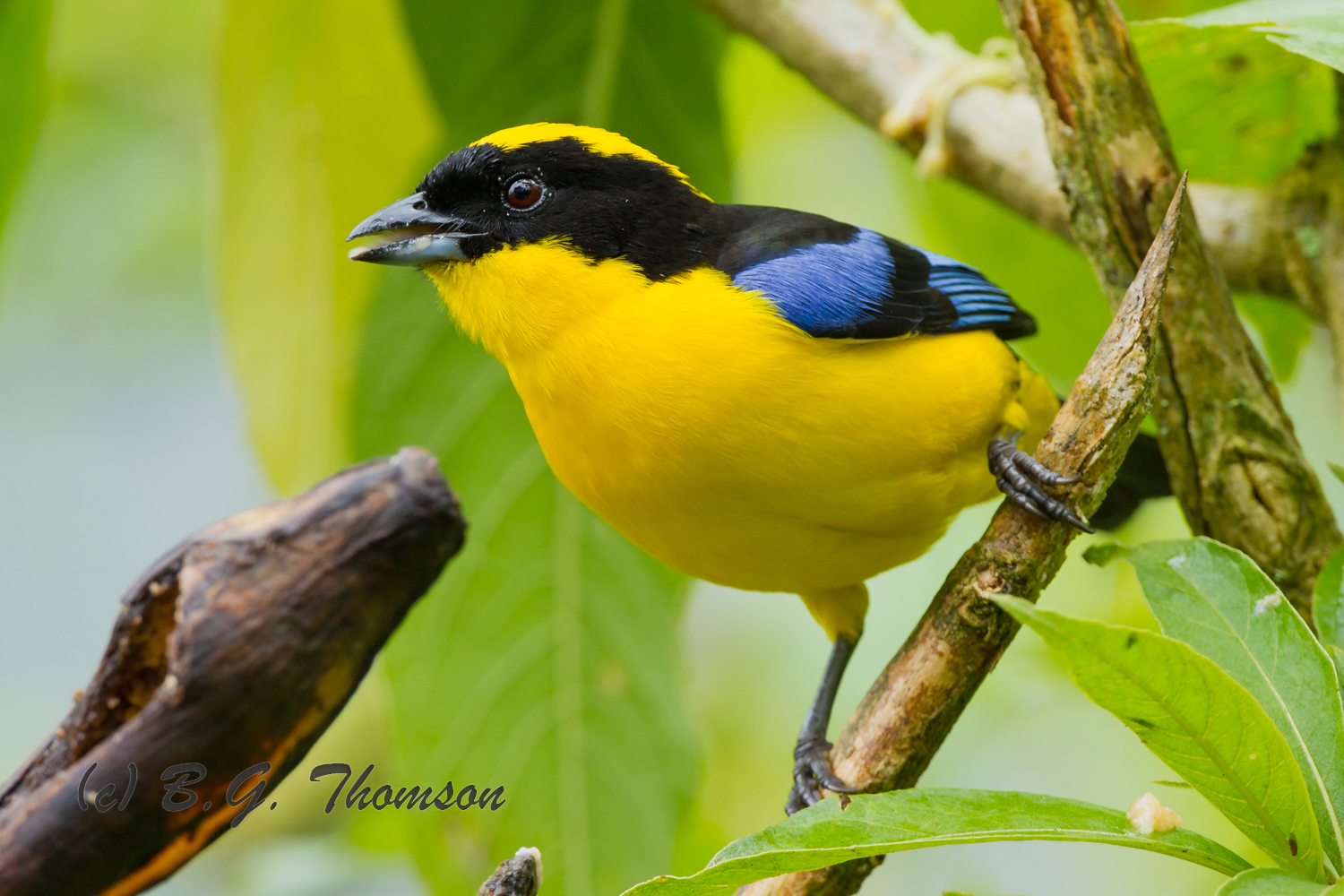 Blue-winged Mountain Tanager, Ecuador birds, wildlife, nature images