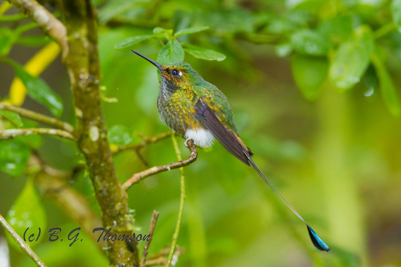 Booted Racket-tail Hummingbird, Ecuador birds, wildlife, nature images