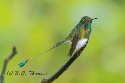 Booted Racket-tail Hummingbird, Ecuador birds, nature images