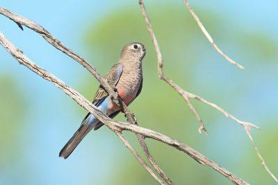 Bourke's Parrot, Australian birds, wildlife
