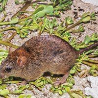 Bramble Cay Melomys - Australian wildlife