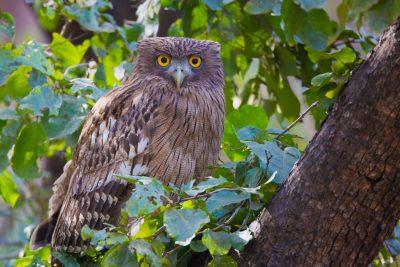 Brown Fish Owl, birds of India, birds of prey, wildlife photography