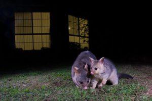 Brush-tailed Possums, camera trap, Australian wildlife, animals