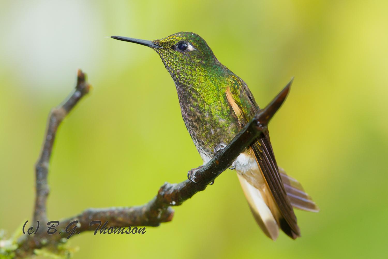 Buff-tailed Coronet Hummingbird, Ecuador birds, nature images