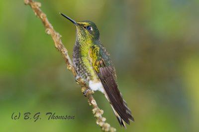 Buff-tailed Coronet Hummingbird, Ecuador birds, wildlife, nature images