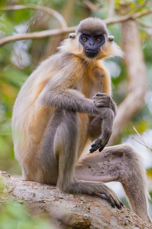 Capped Langur, primates of India, animals, wildlife photography