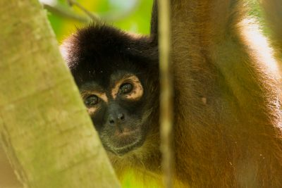 Central American Spider Monkey, Costa Rica animals, wildlife, stock images