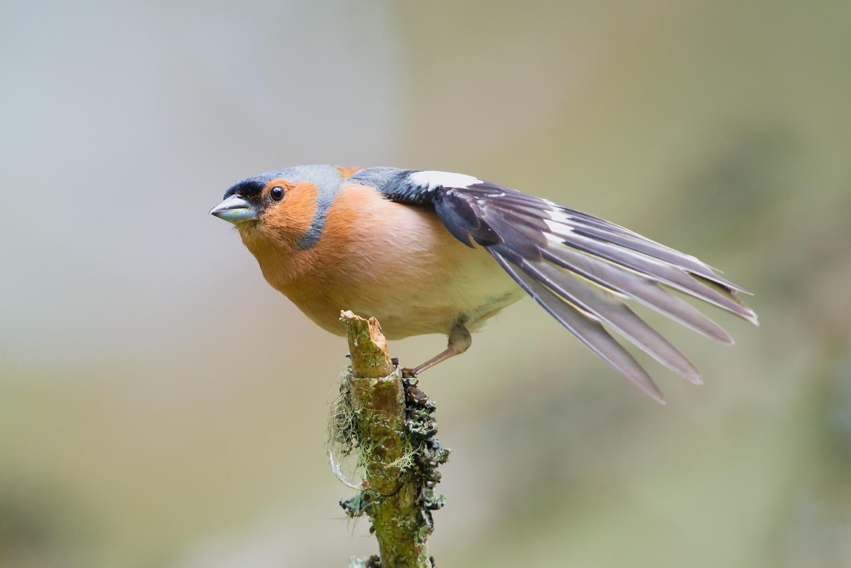 Chaffinch, British Birds, wildlife
