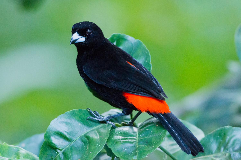 Cherrie's Tanager, Costa Rica birds, wildlife, stock images