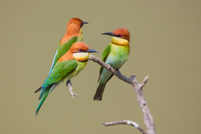 Chestnut-headed Bee-eater, birds of India, wildlife photography