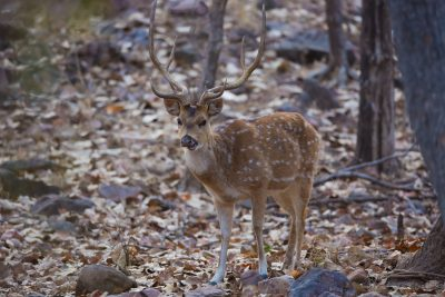 Chital Deer. Indian wildlife, animals, photography