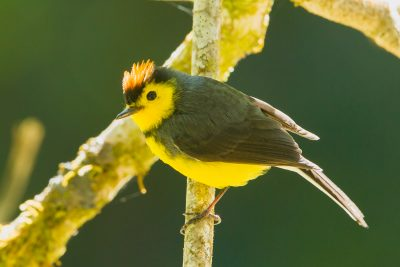 Collared Redstart, Costa Rica birds, wildlife, stock images