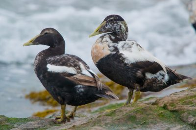 Common Eider Duck, males in eclipse plumage. British wildlife, birds