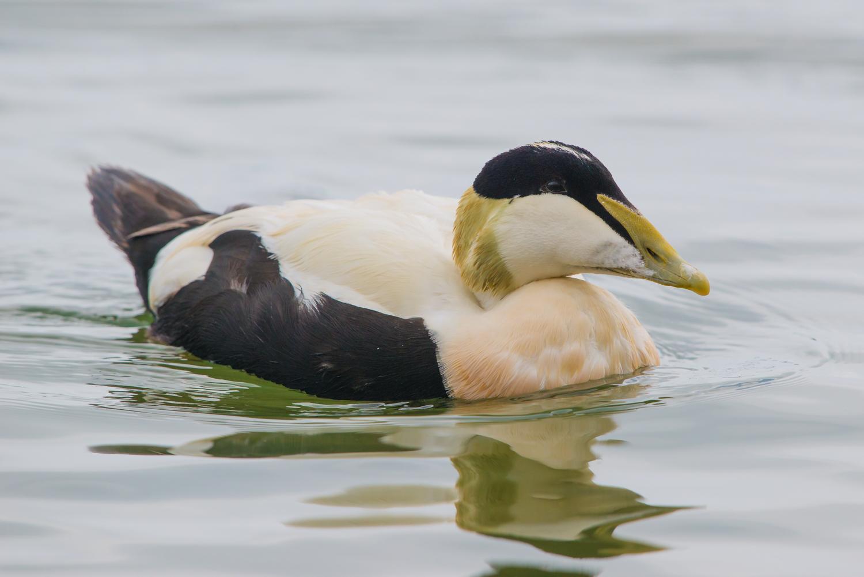 Common Eider Duck, male. British birds, wildlife