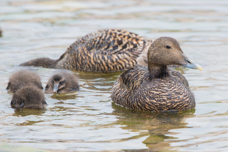 Common Eider Duck, female and chicks, British wildlife, birds