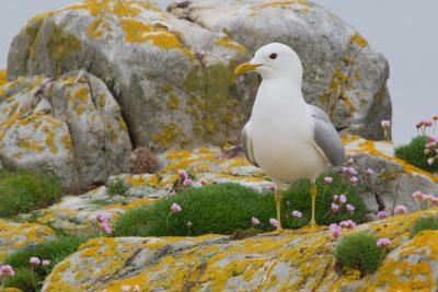 Common Gull, British birds, Fair Isle, wildlife