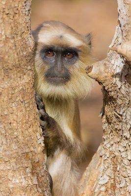 Common Indian Langur monkey, primates of India, wildlife photography