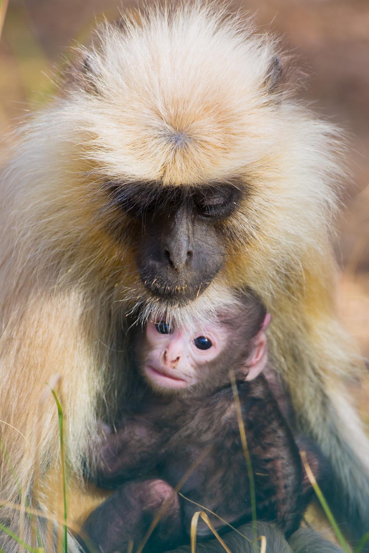 Common Indian Langur, primates, babies, Indian wildlife, animals