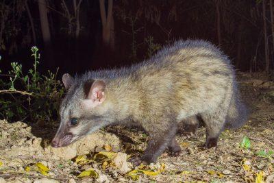 Common Palm Civet, camera trap, animals of India, wildlife