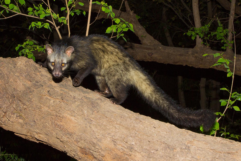 Common Palm Civet, Indian animals, camera trap