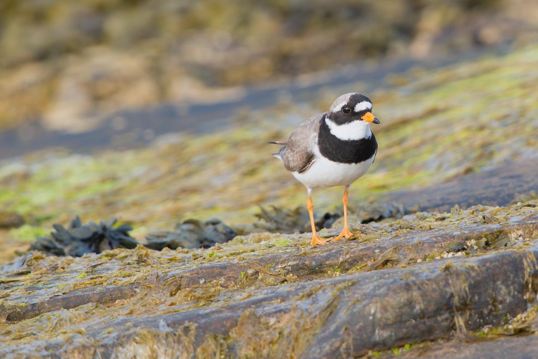 Common Ringed Plover, British shore birds, wildlife