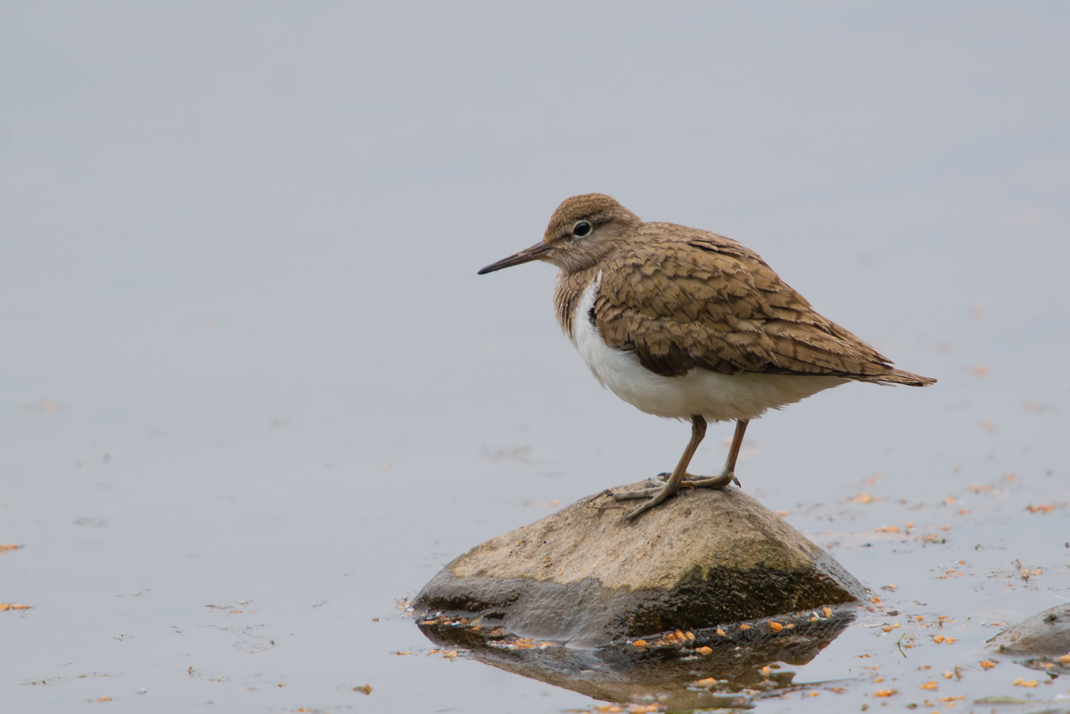 Common Sandpiper, British waders, birds, wildlife